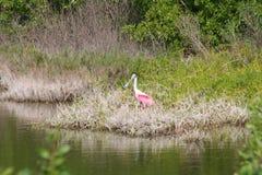 Roseate spoonbill Ajaia ajaja. A Roseate spoonbill Ajaia ajaja in Florida Royalty Free Stock Photography