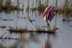 Roseate Spoonbill, Ajaja ajaja Stock Photo