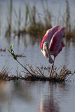 Roseate Spoonbill, Ajaja ajaja Royalty Free Stock Photo