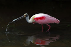 Roseate spoonbill, an american bird Royalty Free Stock Image