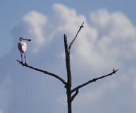 Roseate Spoonbill bird. Perched on bare tree branch with blue sky and cloudscape background Stock Images