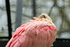 Roseate spoonbill bird Stock Photography
