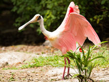 Roseate Spoonbill bird Royalty Free Stock Photo