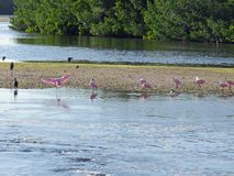 Roseate Spoonbill Ding Darling Wildlife Refuge Sanibel Florida stock photography