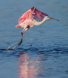 Roseate spoonbill takes off Stock Photos