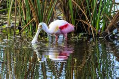 Roseate Spoonbill at Celery Fields Florida