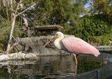 Roseate Spoonbill Royalty Free Stock Photo