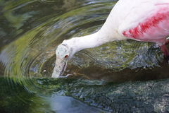 Roseate Spoonbill Royalty Free Stock Photos