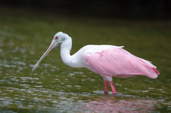 Roseate Spoonbill Stock Photos