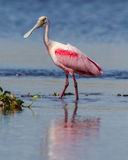 Roseate Spoonbill demonstrates breeding colors Royalty Free Stock Images