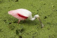 Roseate spoonbill die met zijn rekening in het water, Florida waden Stock Foto's