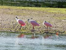 Roseate Spoonbill Ding Darling Wildlife Refuge Sanibel Florida stock images