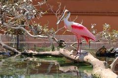 Roseate Spoonbill för fågel Arkivfoton