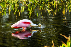 Roseate Spoonbill Feeding Royalty Free Stock Images