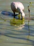 Roseate Spoonbill Feeding Stock Photo