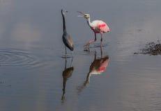Roseate Spoonbill Fighting Tricolored Heron, Merritt Island National Wildlife Refuge, Florida stock images