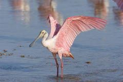 Roseate Spoonbill flapping his wings. A Roseate Spoonbill flapping his wings to dry them Stock Photo