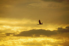 Roseate spoonbill flies into a brilliant Florida sunset. Roseate spoonbill, Ajaia ajaja, flies against a brilliant sunset sky in the Florida Everglades Royalty Free Stock Photography