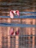 Roseate spoonbill flies over water Stock Image
