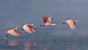 Roseate Spoonbill in flight Stock Images
