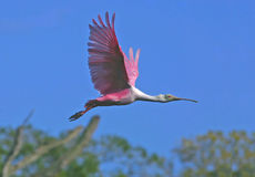 Roseate spoonbill in flight. Taken in florida Stock Image