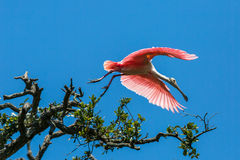 Roseate Spoonbill. A Roseate Spoonbill in flight royalty free stock photos