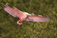 Roseate Spoonbill in flight Royalty Free Stock Photo