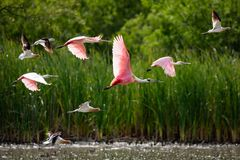 Roseate Spoonbill in flight. Roseate spoonbill flying over a lake in Rio Grande Valley, Texas stock photography