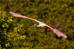 Roseate Spoonbill in flight near the nest Stock Images