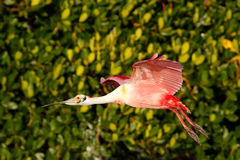 Roseate Spoonbill in flight near the nest Royalty Free Stock Photos