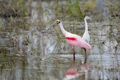 Mature Roseate Spoonbill royalty free stock photos