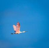 Roseate spoonbill flying Royalty Free Stock Photography