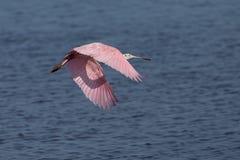Roseate Spoonbill flying in Florida wetland Stock Photos