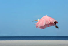 Roseate Spoonbill flying by the Gulf of Mexico. Roseate Spoonbill flying low over the white sands and blue waters of Fort Myers Beach, Florida royalty free stock photography