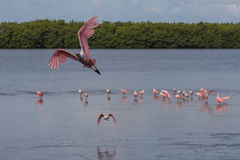 Roseate Spoonbill Flying, J.N. Ding Darling National Wildlif royalty free stock image