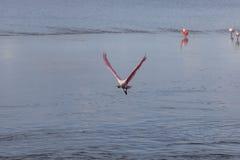Roseate Spoonbill Flying, J.N. Ding Darling National Wildlif. Roseate Spoonbill & x28;Platalea ajaja& x29; Flying, J.N. Ding Darling National Wildlife Refuge Royalty Free Stock Photo