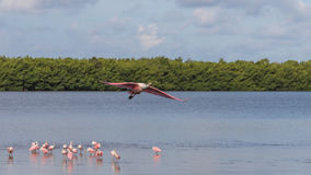 Roseate Spoonbill Flying, J.N. Ding Darling National Wildlif Stock Photos