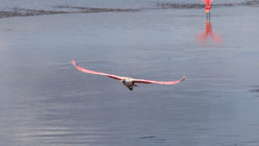Roseate Spoonbill Flying, J.N. Ding Darling National Wildlif Stock Photography