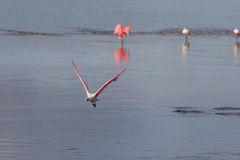 Roseate Spoonbill Flying, J.N. Ding Darling National Wildlif Royalty Free Stock Photography
