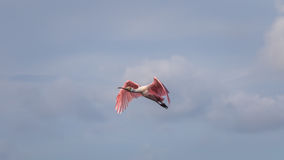 Roseate Spoonbill Flying, J.N. Ding Darling National Wildlif Royalty Free Stock Photos