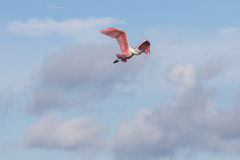 Roseate Spoonbill Flying, J.N. Ding Darling National Wildlif Stock Photo