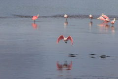Roseate Spoonbill Flying, J.N. Ding Darling National Wildlif stock image