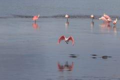 Roseate Spoonbill Flying, J.N. Ding Darling National Wildlif. Roseate Spoonbill & x28;Platalea ajaja& x29; Flying, J.N. Ding Darling National Wildlife Refuge Stock Image