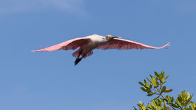 Roseate Spoonbill Flying, J.N. Ding Darling National Wildlif Stock Images