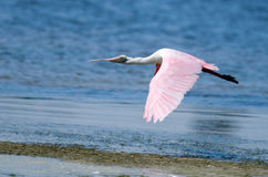 Roseate Spoonbill Flying Royalty Free Stock Photos