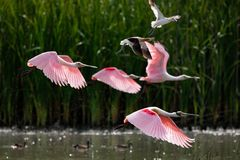 Roseate Spoonbill in flight. Roseate spoonbill flying over a lake in Rio Grande Valley, Texas stock photos