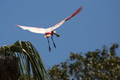 Roseate spoonbill flying over a swamp in St. Augustine, Florida royalty free stock photos