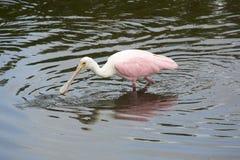 Roseate spoonbill głęboki w wodzie przy Orlando bagien parkiem Obrazy Royalty Free