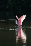 Roseate Spoonbill in the golden hour, J.N. ''Ding'' Darling Nati Royalty Free Stock Photo