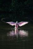 Roseate Spoonbill in the golden hour, J.N. ''Ding'' Darling Nati Royalty Free Stock Photography